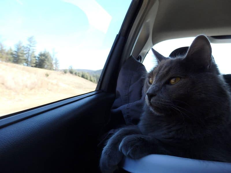 Traveling with a Cat in the Car | Fluffy Kitty