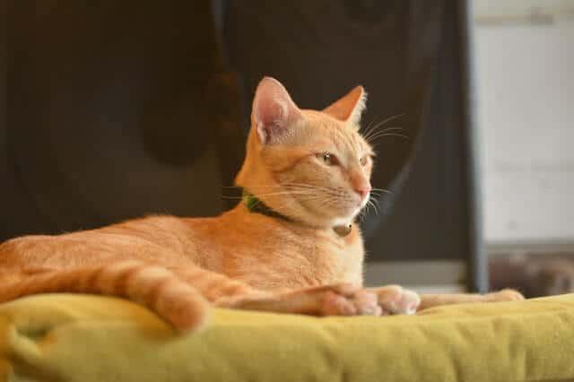 FeLV in Cats : Guide to Feline Leukemia Virus | Fluffy Kitty