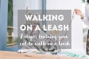 How to Walk a Cat on a Leash in 7 Steps   Fluffy Kitty