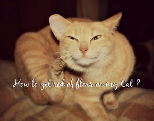 how to get rid of fleas on my cat header