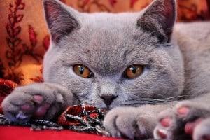 10 best cats for cuddling - british shorthair