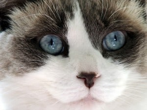10 best cats for cuddling