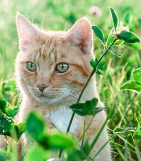 Why do cats eat plants ?