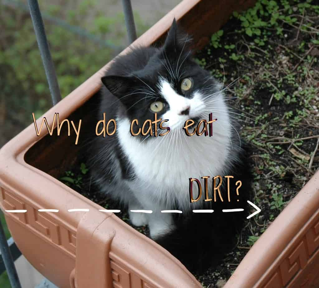 Why do cats eat dirt ? - Fluffy Kitty