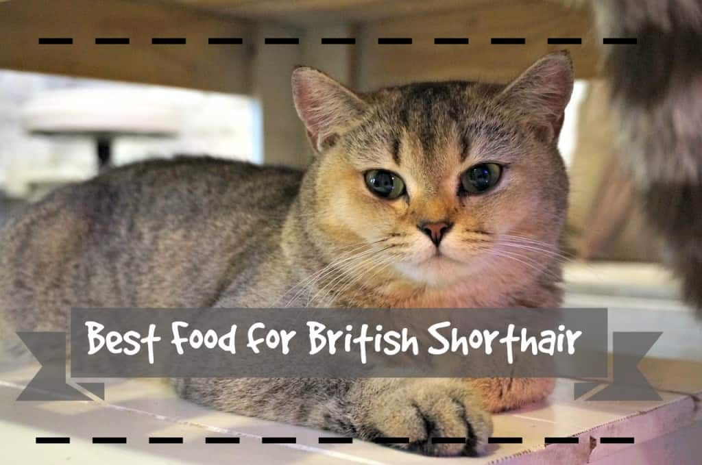 best cat food for british shorthair header