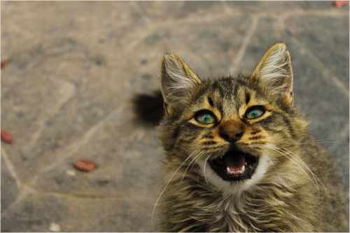 what to feed a stray kitten without cat food