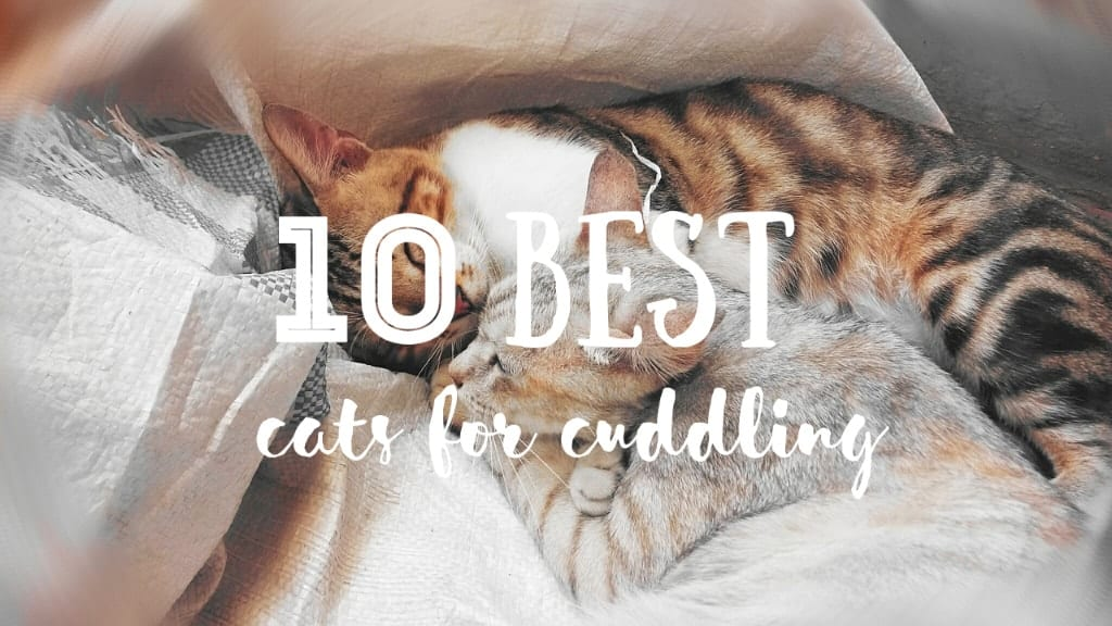 Best Cats for Cuddling | Fluffy Kitty