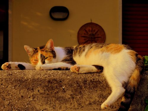 how to administer melatonin for cats