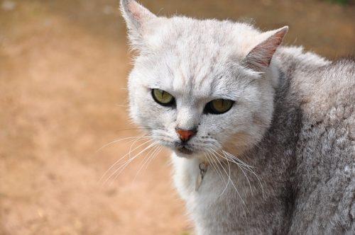 mon chat devrait-il porter un collier