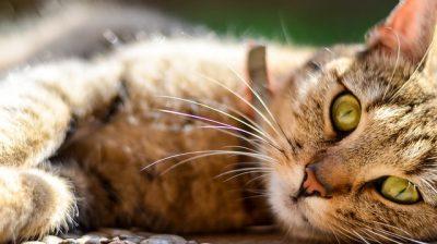 colliers de chat