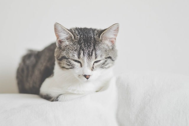 Can Cats Be Autistic? Fluffy Kitty