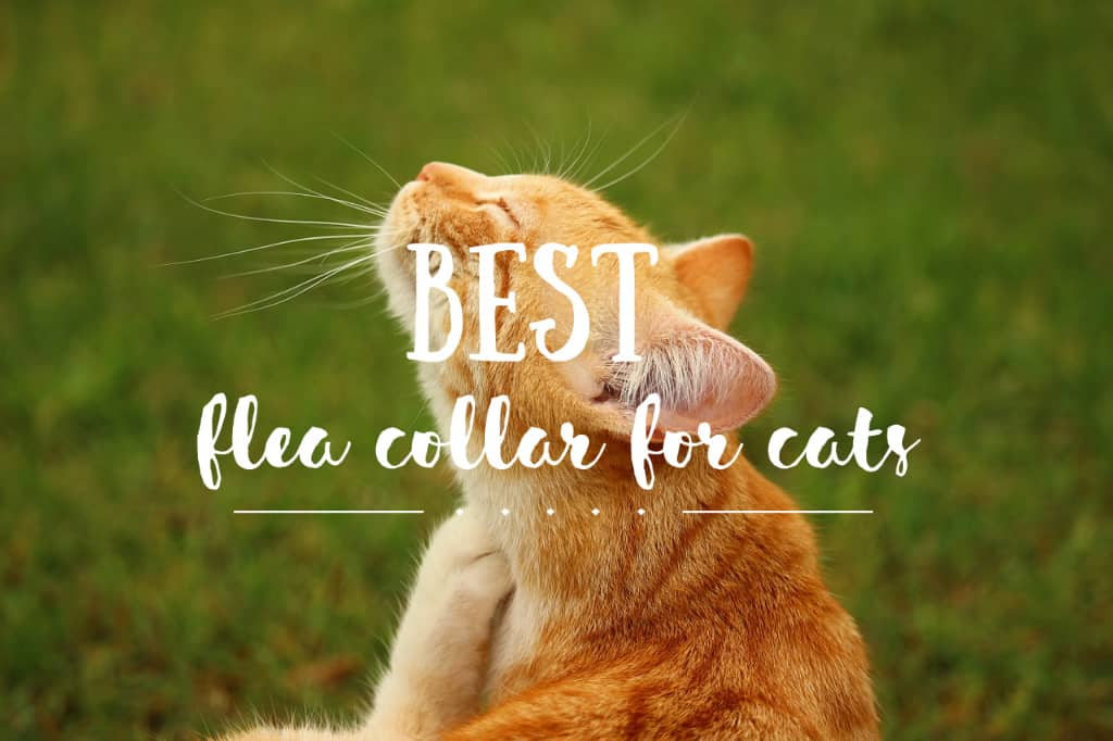 Best Flea Collar for Cats | Fluffy Kitty