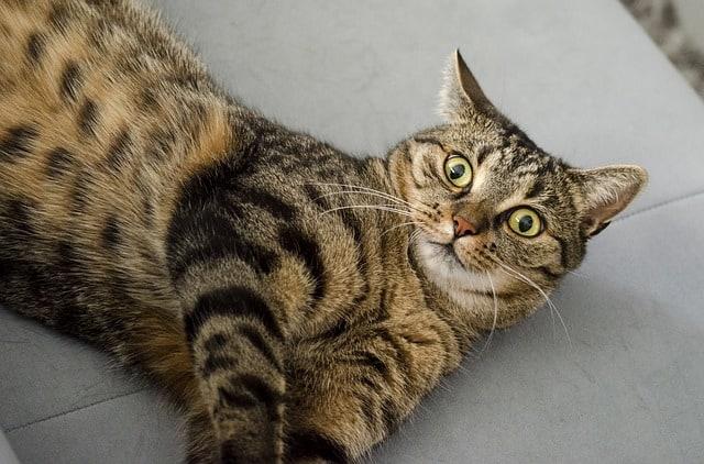 How often do cats need shots | Fluffy Kitty