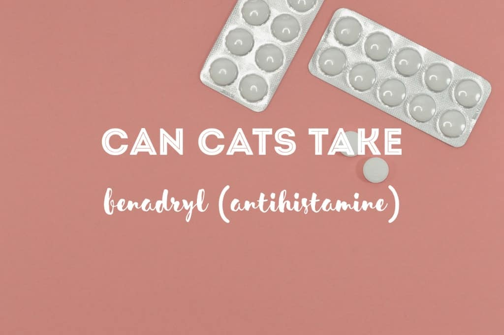 Can Cats Take Banadryl   Fluffy Kitty