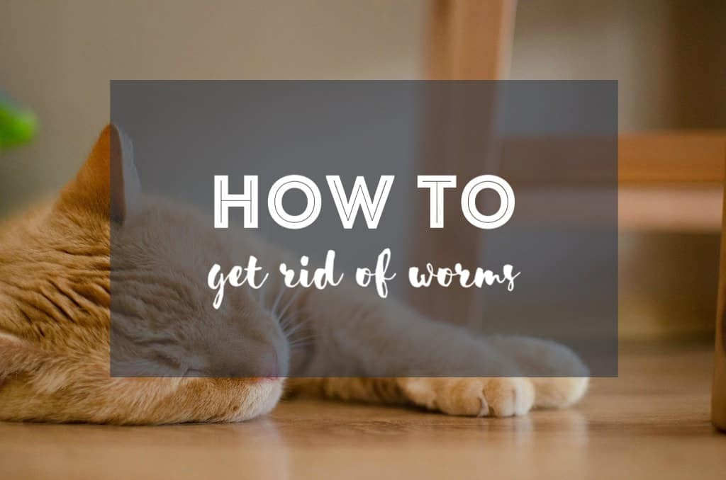 How to Get Rid of Worms in Cats | Fluffy Kitty