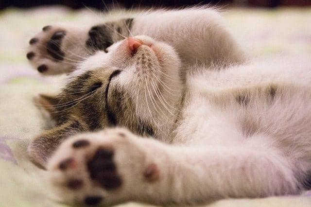 can cats take Benadryl? || Fluffy Kitty