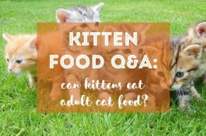 Can Kittens Eat Adult Cat Food? | Fluffy Kitty