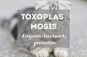 Toxoplasmosis in Cats | Fluffy Kitty