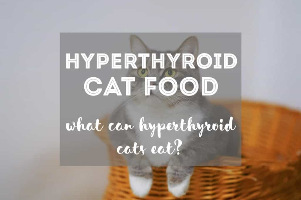 What Can a Hyperthyroid Cat Eat? | Fluffy Kitty