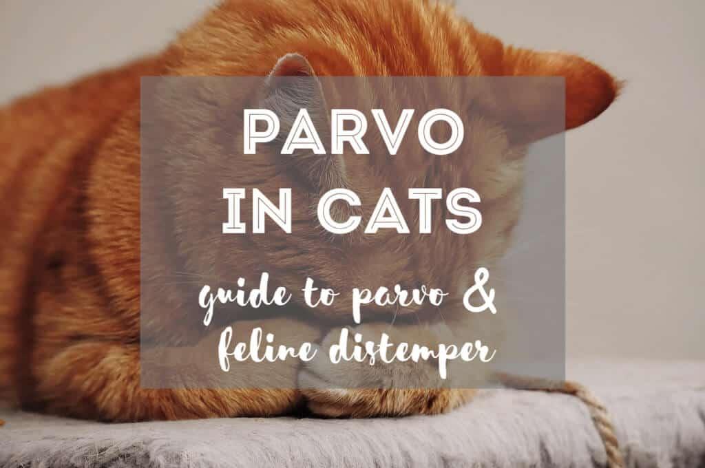 Feline Distemper & Parvo in Cats | Fluffy Kitty
