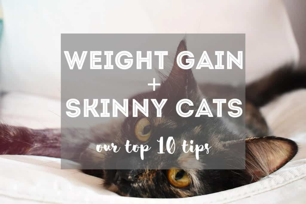 How to Make a Skinny Cat Gain Weight | Fluffy Kitty