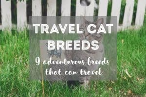 Adventurous Cat Breeds That Like To Travel   Fluffy Kitty thefluffykitty.com
