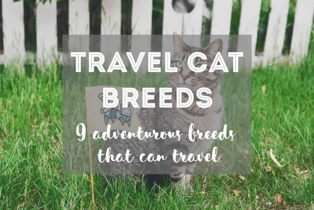 Adventurous Cat Breeds That Like To Travel | Fluffy Kitty thefluffykitty.com