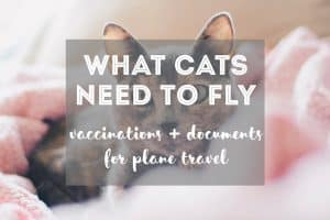 Documents & Vaccinations Cats Need to Fly | Fluffy Kitty thefluffykitty.com