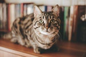 Understanding Feline Hyperesthesia / Rolling Skin Disease / Twitching-Skin Syndrome in Cats #cats #cathealth #catblog #catbehavior | The Fluffy Kitty thefluffykitty.com