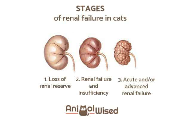 CKD in Cats | Fluffy Kitty | photo credit: Animalwise.com