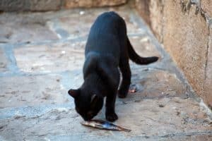 black cat smelling dead fish
