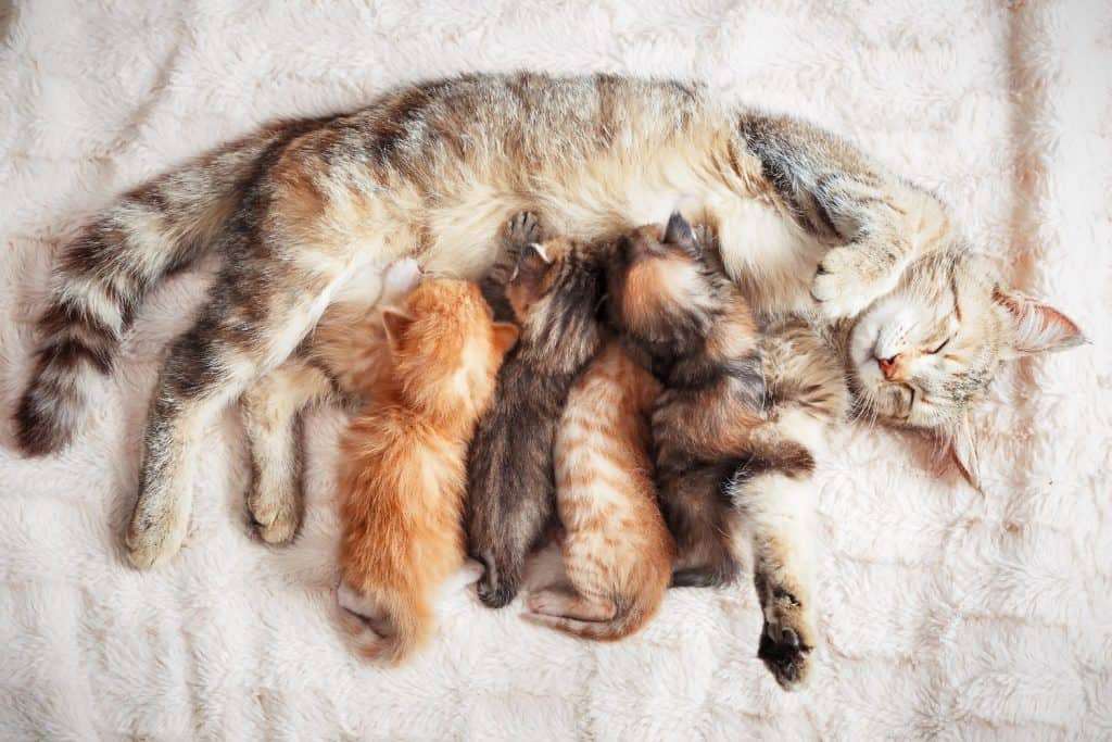 pregnant cat with kittens | fostering