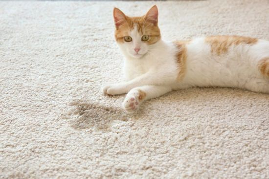 cat next to wet stain on carpet | Homemade Cat Urine Cleaner