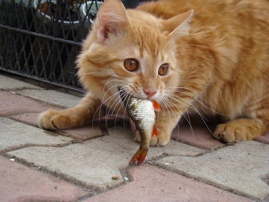 orange cat eating fish on patio