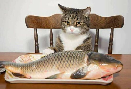 cat in chair looking at fish on plate