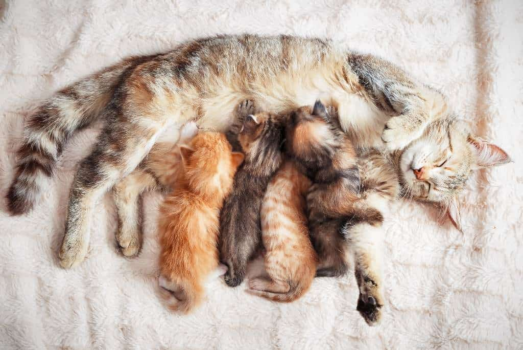 mother cat nursing newborn kittens