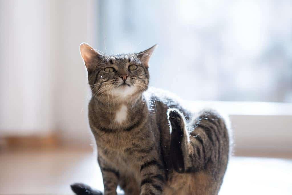 cat scratching cat dandruff remedies