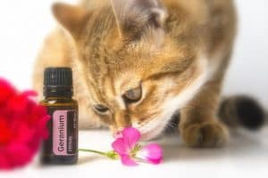 essential oils for fleas on cats