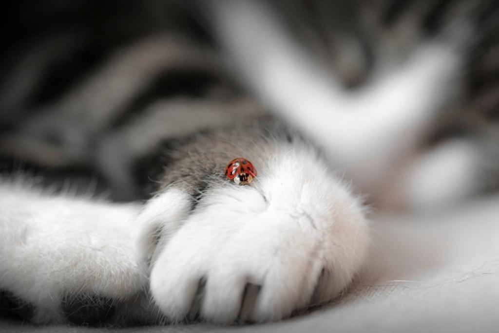 ladybug on cat paw
