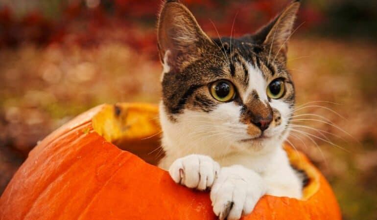 cat inside pumpkin