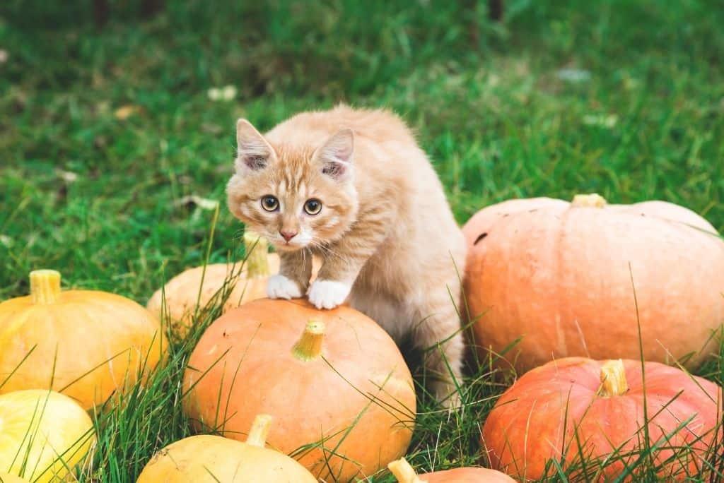 outside cat on pumpkin