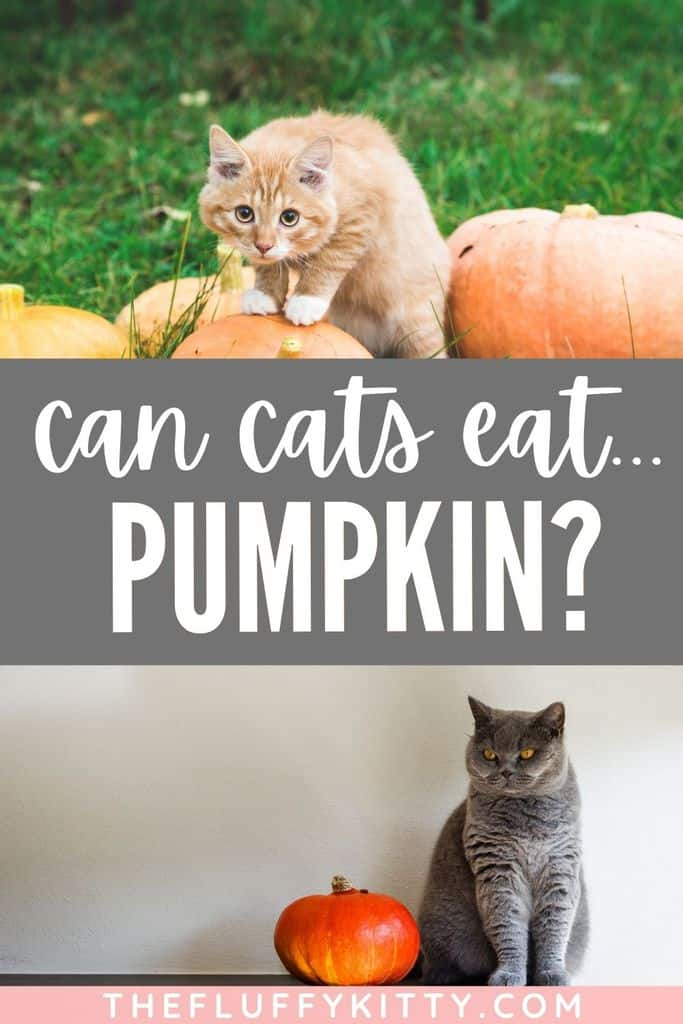 Can cats eat pumpkins? Yes, they can! But you want to make sure it's not pumpkin filling, only pure pumpkin. Here's a full guide explaining the benefits of pumpkin for cats + a few tasty pumpkin cat food recipes! #pumpkin #catfood #recipes
