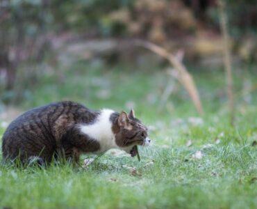outdoor cat vomiting
