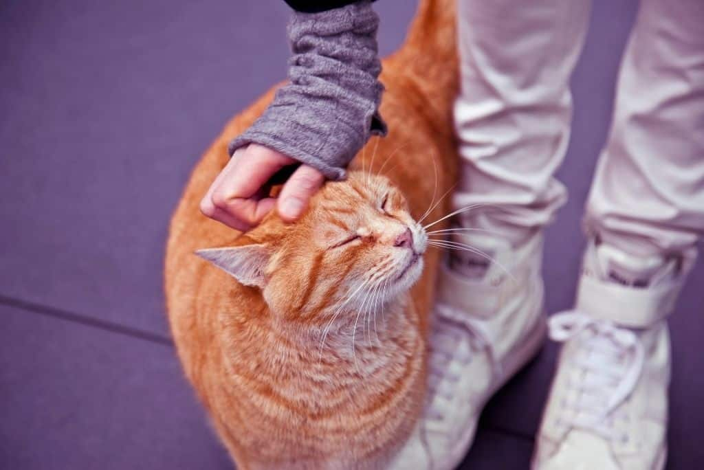person bending down to pet ginger cat