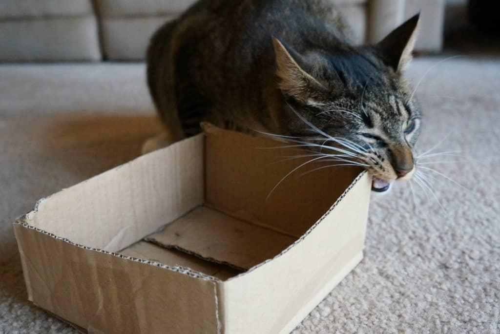 tabby cat chewing cardboard box