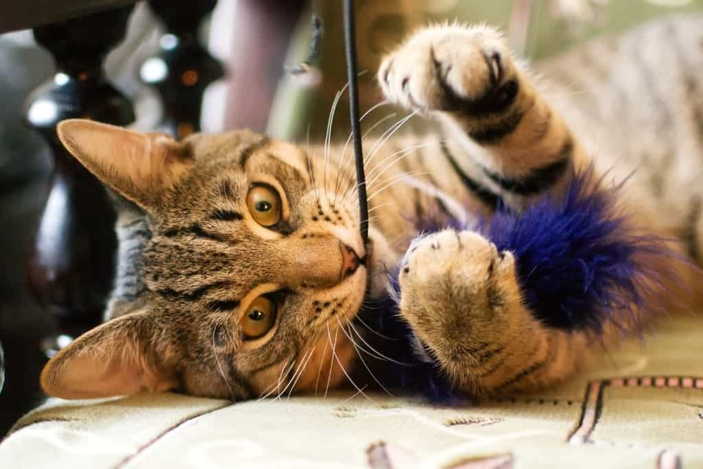 cat chewing feather toy