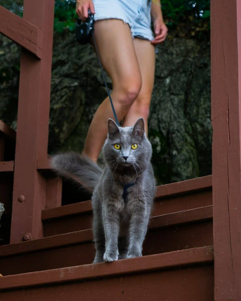 gray cat walking on leash down stairs with owner