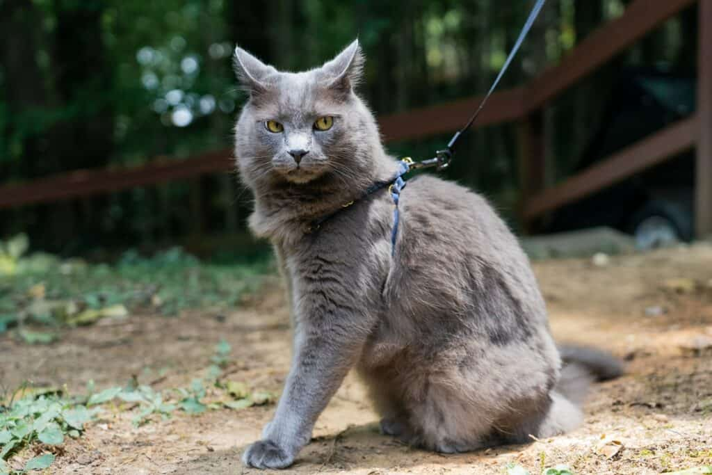 gray cat with angry face wearing cat harness outside
