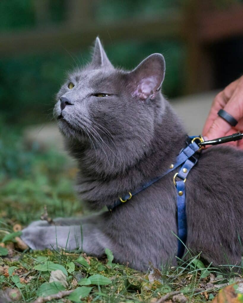 gray cat laying in grass wearing the Supakit harness