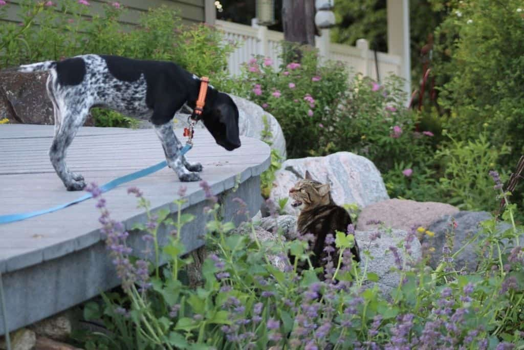 stressed cat in garden meeting new dog